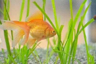 ペット 金魚