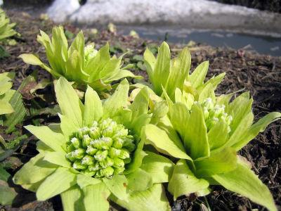 春野菜 ふきのとう