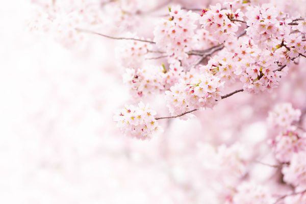 見るだけじゃもったいない!春の風物詩『桜』を五感で楽しむ方法